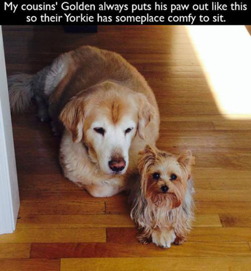 my cousin's golden always puts his paw out like this so their yorkie has someplace comfy to sit, dogs