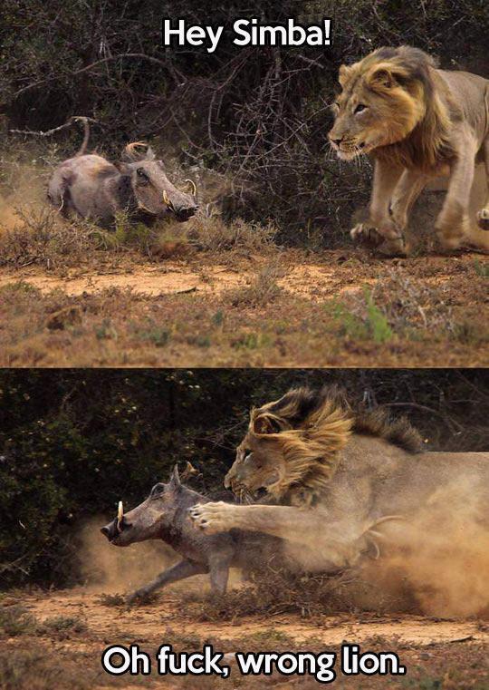 hey simba, oh fuck wrong lion