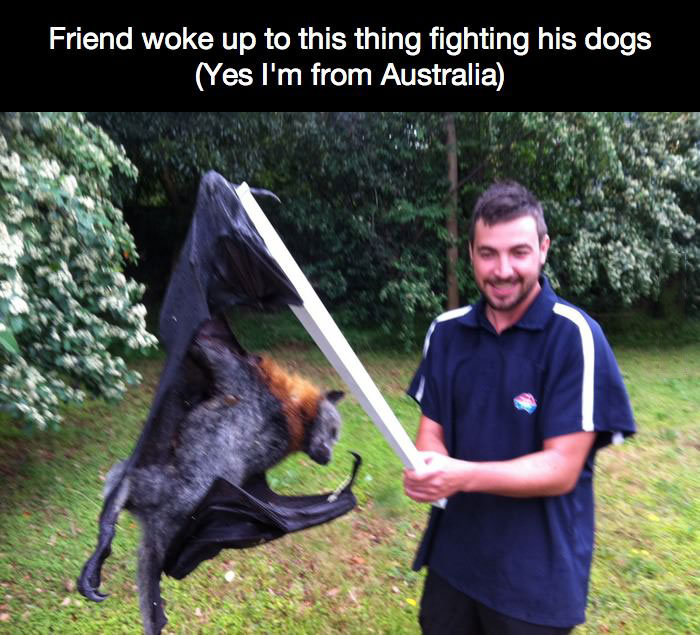 friend woke up to this fighting his dogs, yes i'm from australia, flying fox