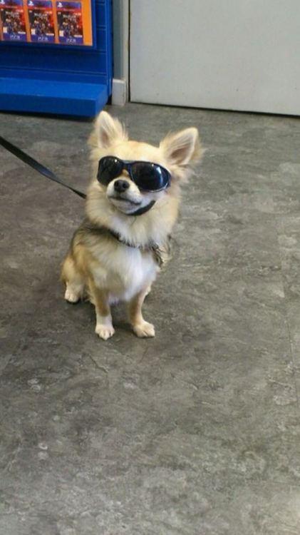tiny cool dog wearing sunglasses
