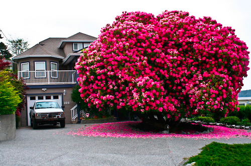 behold a 120+ year old rhododendron, beautiful plants
