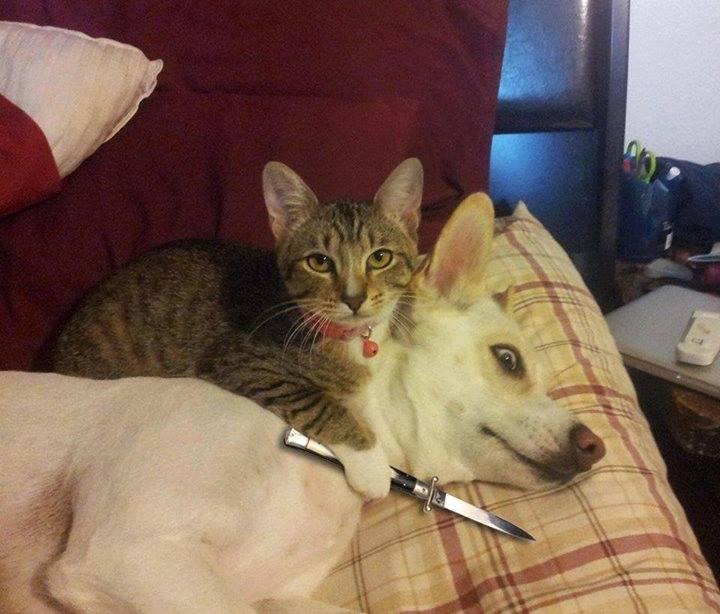 Cat And Dog Knife Meme