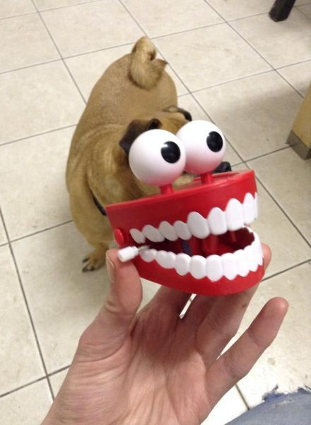 fake eyes and teeth in front of a dog, perspective, lol