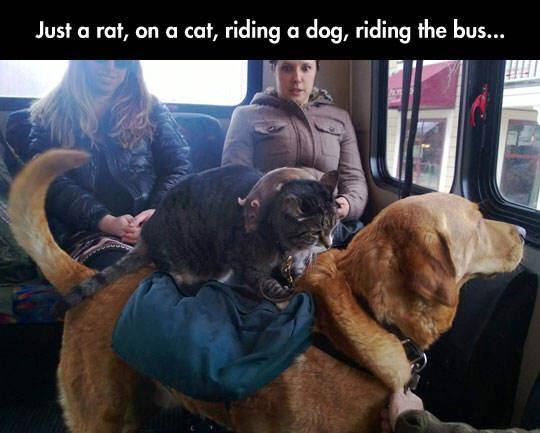 just a rat on a cat riding a dog riding the bus, wtf