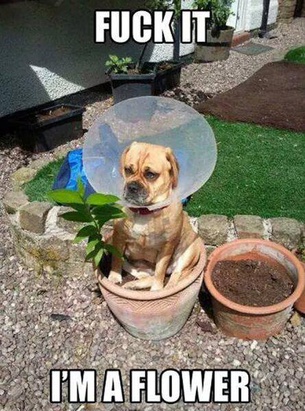 fuck it i'm a flower, dog with cone over head sitting in flower pot