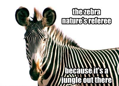 the zebra, nature's referee because it's a jungle out there