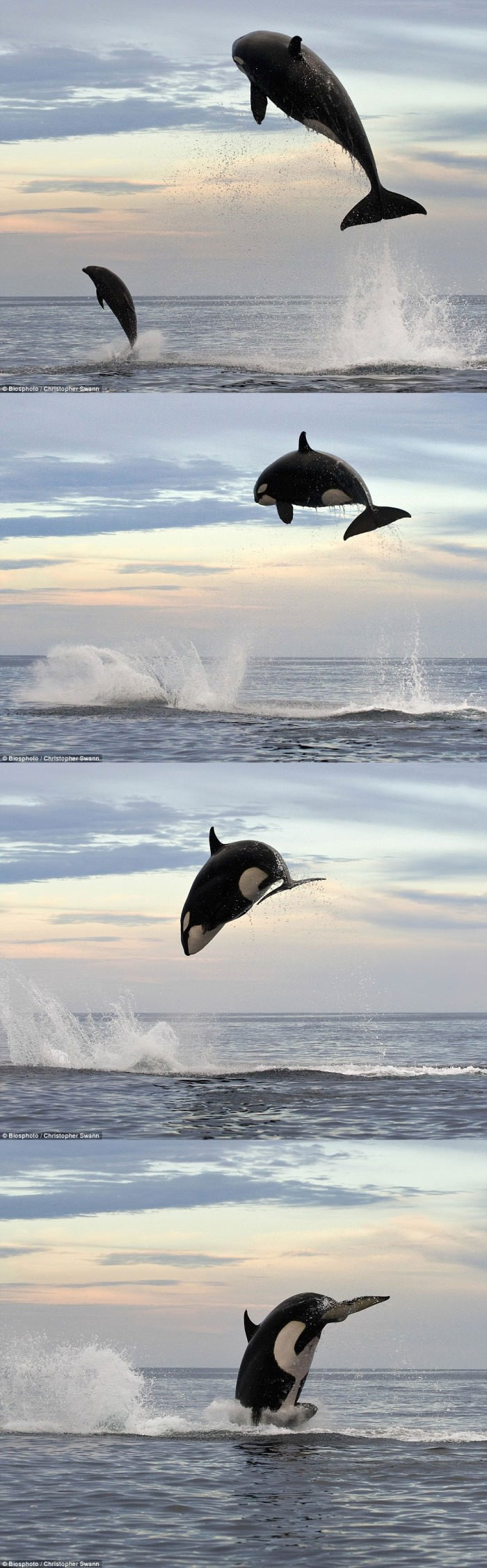 killer whale jumps 15 feet into the air while chasing dolphin, impressive