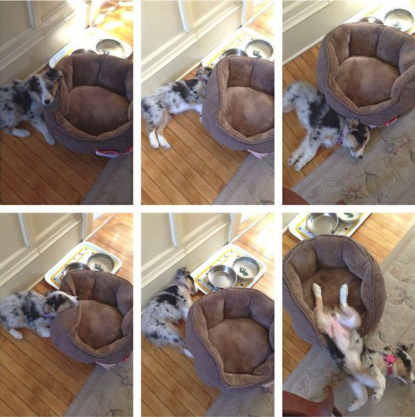this dog doesn't understand what to do with his new bed