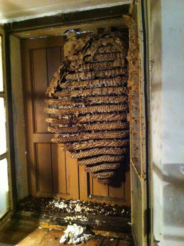 a friend of mine found some wasps at his country house, giant bee hive
