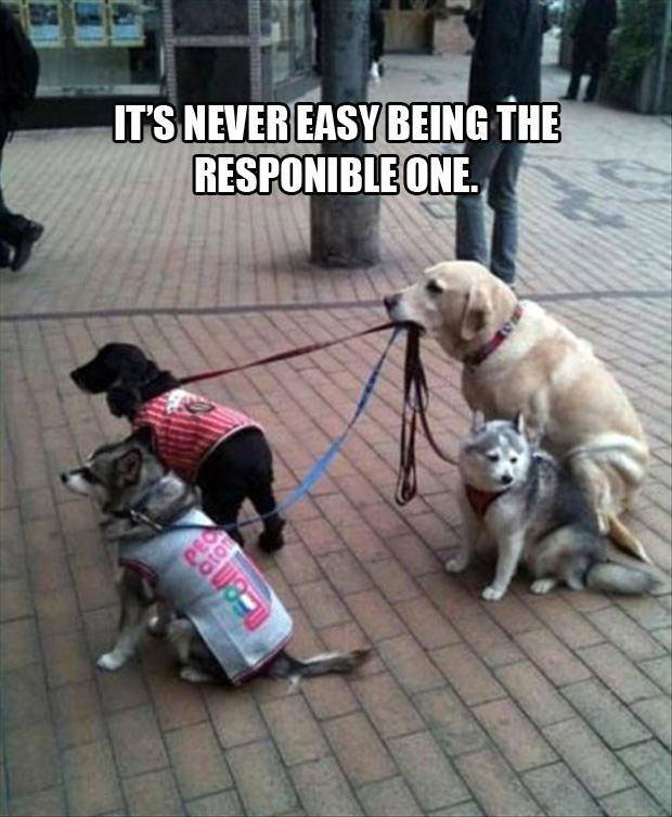 it is never easy being the responsible one, dog holding leashes of other dogs