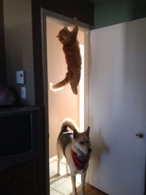 ninja cat hides from dog on the door frame