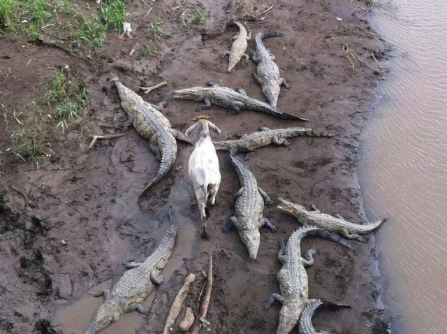 zero fucks were given that day, goat walks among alligators