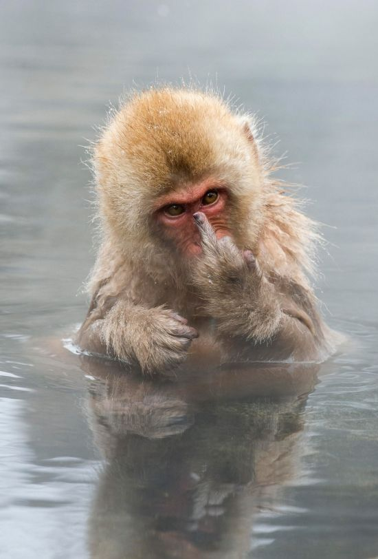 look what i found, monkey giving you the middle finger