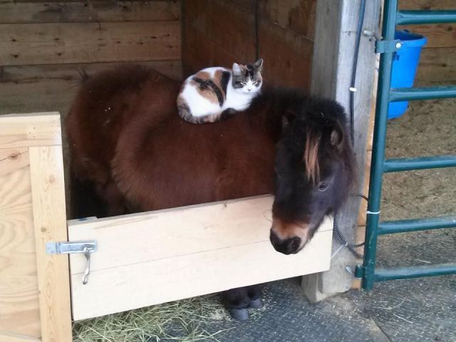 cat sleeping on sleeping horse