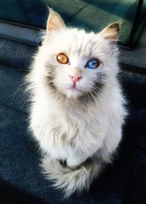 this cat has fire and ice for eyes, beautiful feline with orange and blue eyes