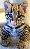 baby bobcat, cute animals