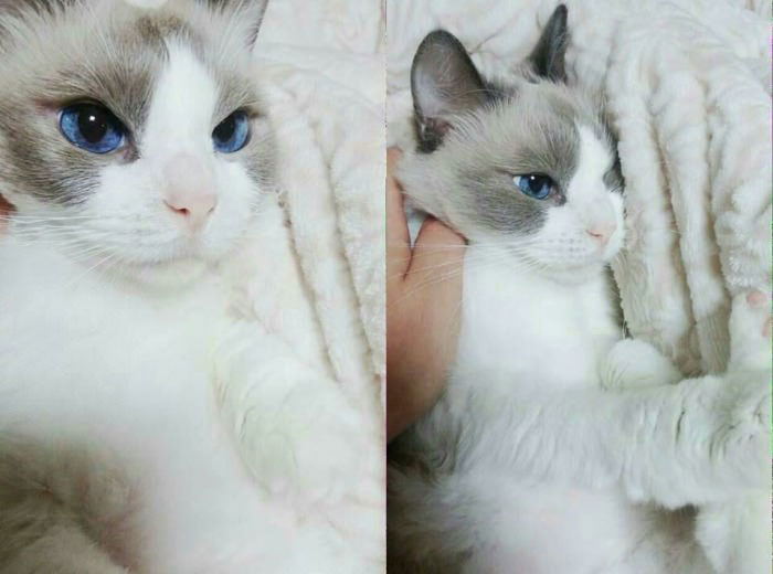 grey and white cat breeds
