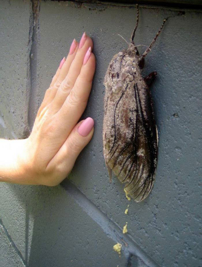 guess what country this is from, australia giant insect moth