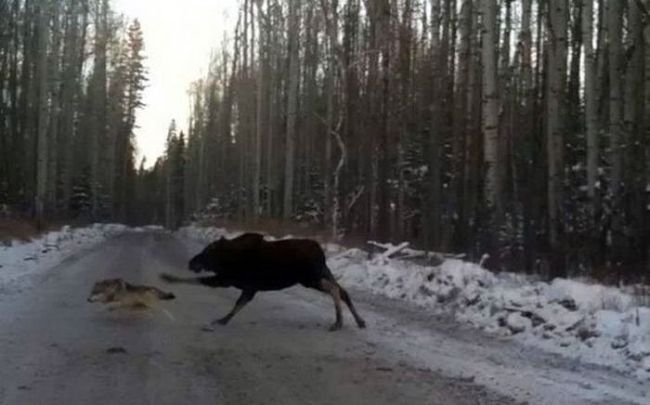 when the wolf gets separated from his pack and a moose is on the loose