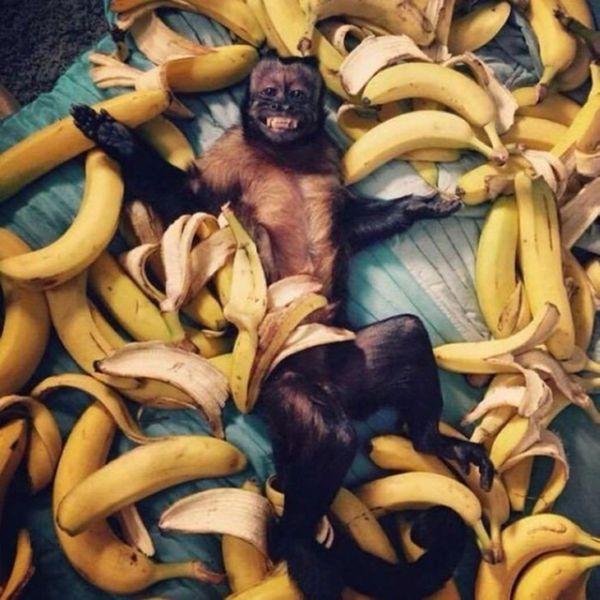 happy monkey lying in bananas