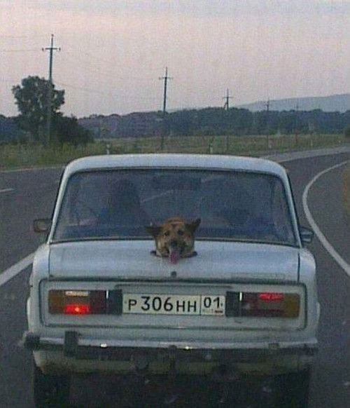 russian version of r2d2, dog with head coming out the top of the trunk of a car