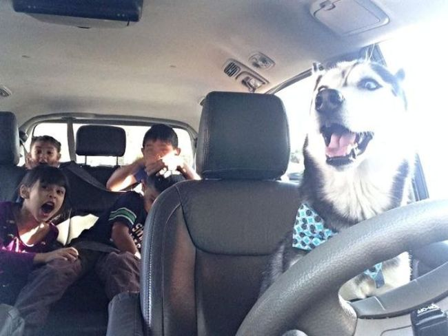 dog driving car with kids screaming in the back