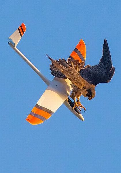 eagle taking down  remote control plane, this sky isn't big enough for the both of us