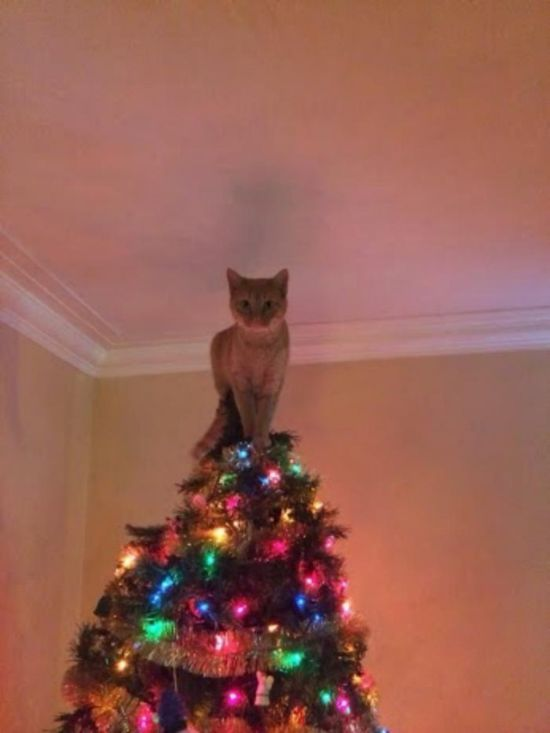 this cat thinks that he is the star, living christmas tree ornament