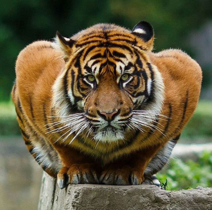 there are only 400 tigers left in the wild, humanity what are you doing?