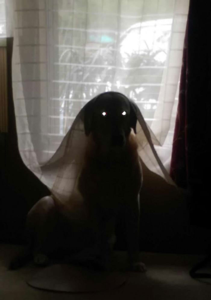 i caught my dog playing in curtains and thought it would make a cute picture, the result was nightmare fuel.jpg