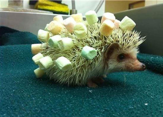 how to make a hedgehog safer, marshmallows