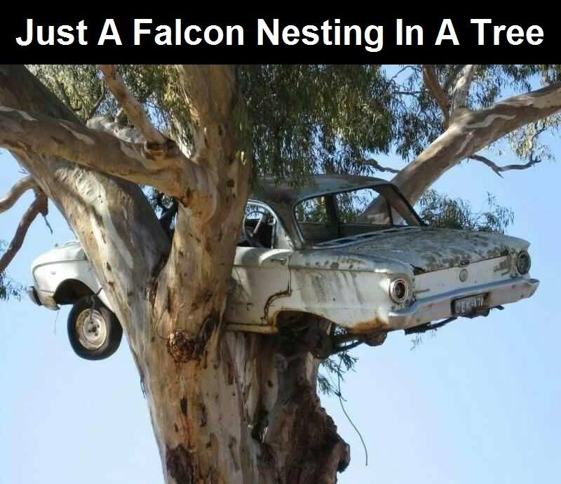 just a falcon nesting in a tree