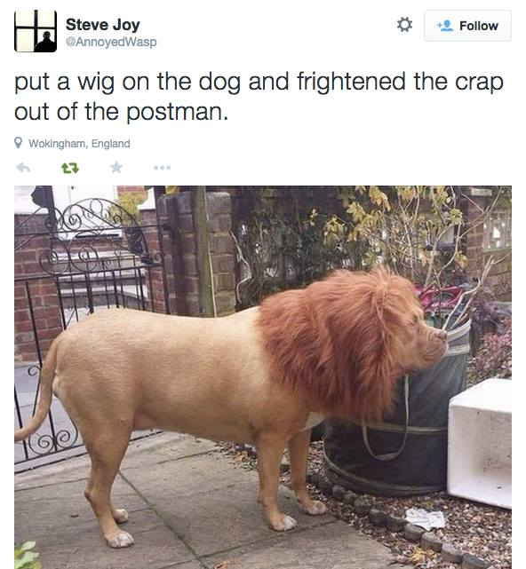 put a wig on the dog and frightened the crap out of the postman, twitter, lion's mane
