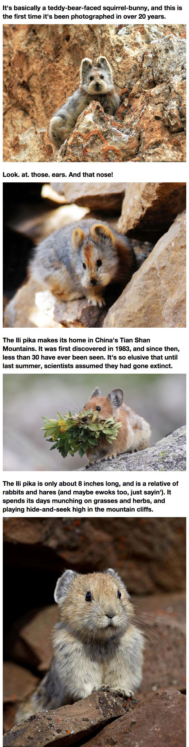 the ili pika makes its home in china's tian shan mountains, it's basically a teddy bear faced squirrel bunny