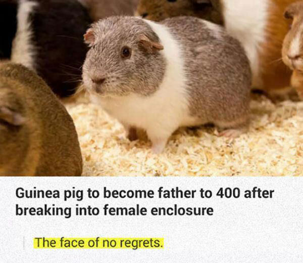 guinea pig to become father to 400 after breaking into female enclosure, the face of no regrets