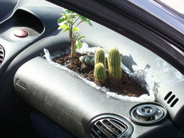 cactus bed on a car's dashboard