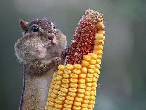 when the waiter asks how the food is, squirrel with mouth full of corn