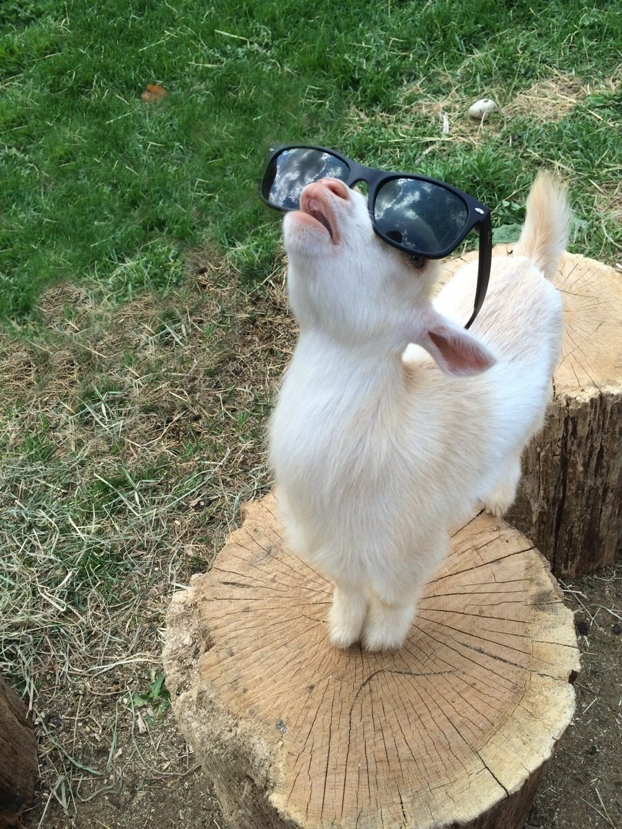 goat wearing sunglasses stares at the sky, wtf