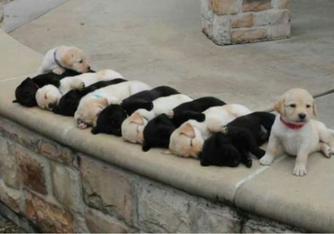 an alternating row of black and white puppies, dog