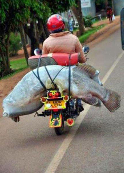 huge fish on the back of a motorcycle, a good day fishing