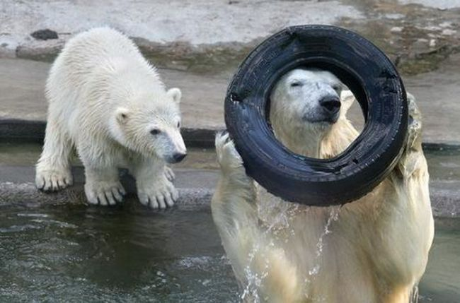 i'm ready for my picture mr zoo keeper, polar bear looking through tire into camera