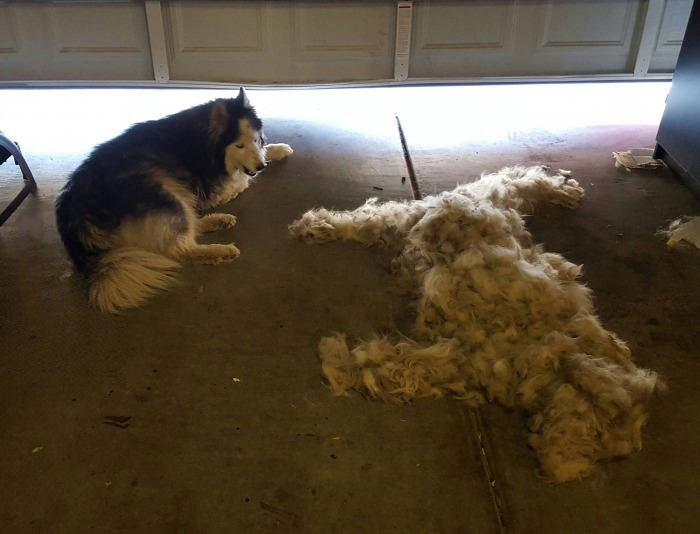 brush one dog get one free, massive amount of hair from dog
