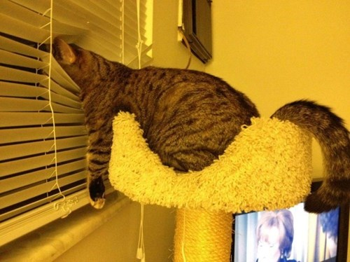 cat looks really comfortable looking out the window through the blinds, lol
