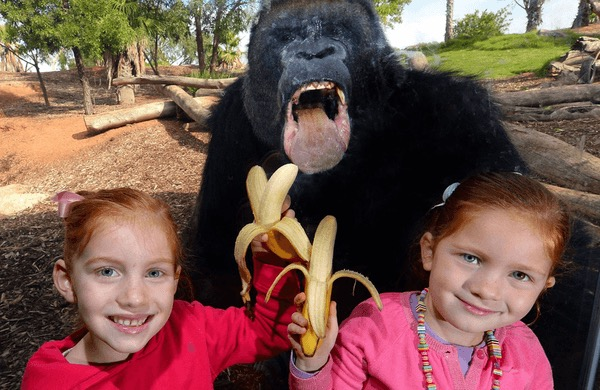 making a gorilla go bananas, little girls pose with bananas in front of gorilla den