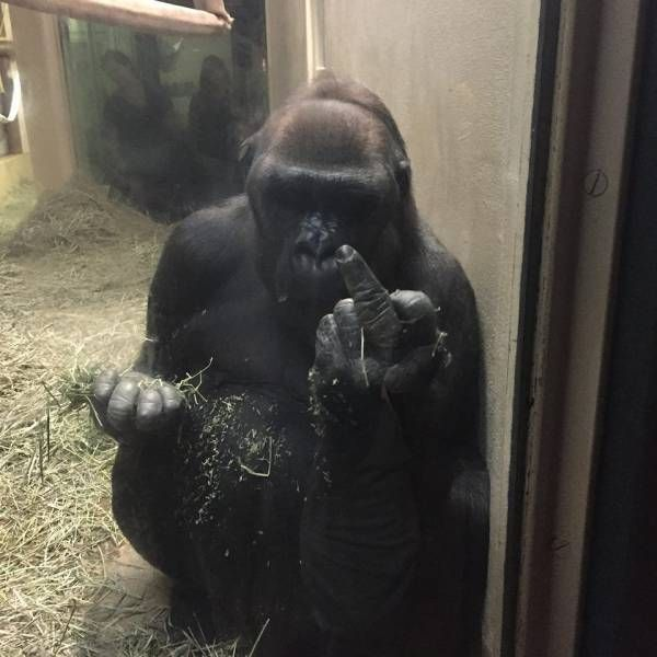gorilla giving you the middle finger, zoo animal