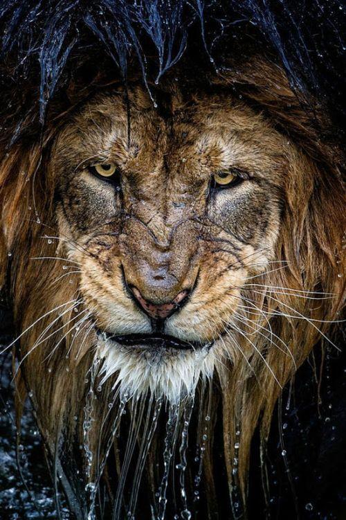 just a bad ass lion