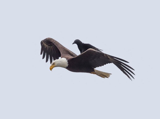 crow riding on top of flying bald eagle