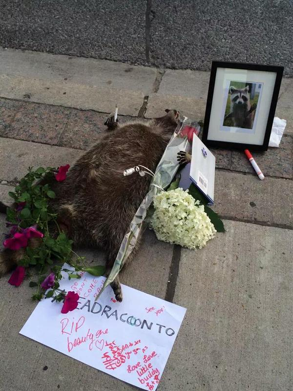 people in toronto created a memorial to a dead raccoon after the city forgot to pick it up