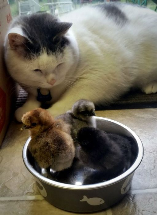 chicks in cat's food bowl