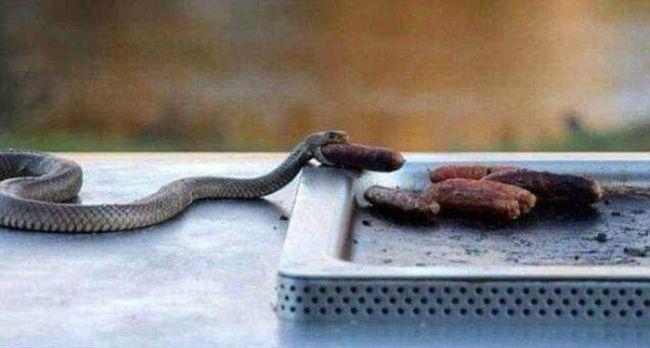 snake eating a sausage